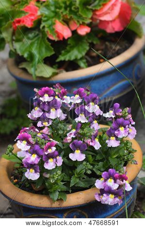 Pretty Blue Nemesia