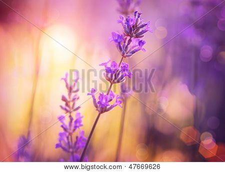 Lavender. Lavender field at Sunset. Close up image. Soft Focus