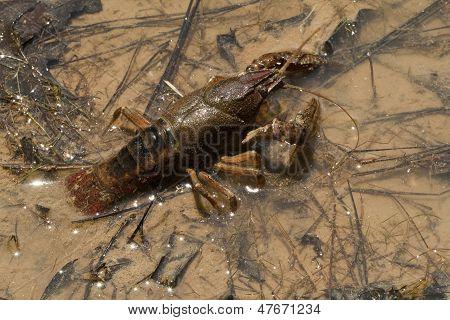 Alabama Crayfish Orconectes alabamensis
