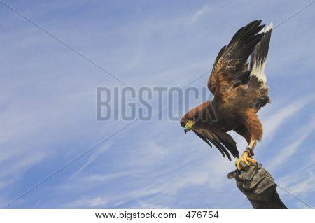 Eagle Towards The Sky