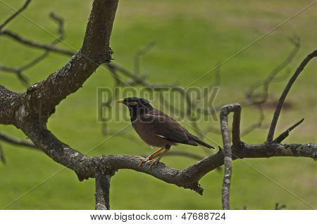 Cape Robin-Chat bird
