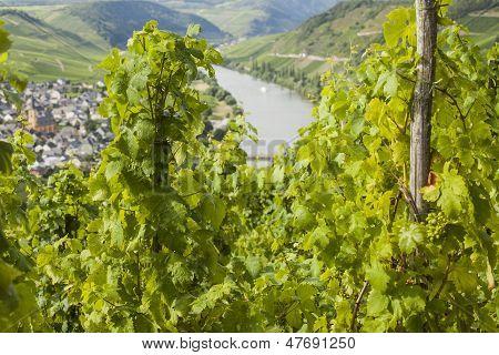 Mosel Vineyard In Germany
