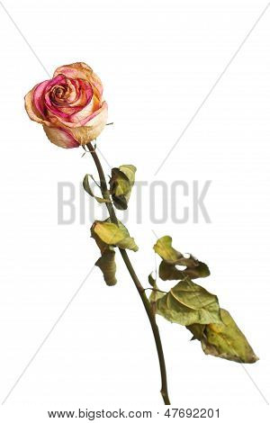 The Dried Rose