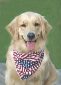 stock photo of golden retriever puppy  - Smiling golden retriever on 4th of July - JPG