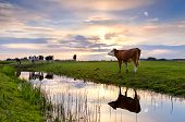 Cattle On Pasture And River At Sunset