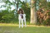 stock photo of chocolate poodle  - Standard Parti  Poodle in a park - JPG