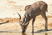 image of greater  - Greater Kudu  - JPG