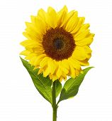 stock photo of sunflower  - Single sunflower isolated on white with clipping path - JPG