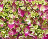 green & pink Hortensia floral background