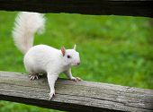 foto of albinos  - Rare white squirrel on a wooden fence in the city park in Olney Illinois one of the few places were a large number of them exist - JPG