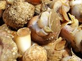 picture of whelk  - A close up image showing Freshly caught Whelks - JPG