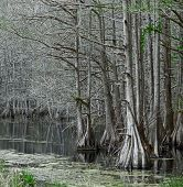 picture of boggy  - The Pea River Swamp - JPG