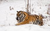 image of white-tiger  - A siberian tiger lounging in the snow of Harbin in China licking its paw.