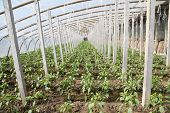 stock photo of stent  - Vegetable greenhouses internal view north china - JPG