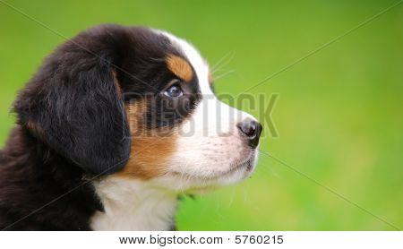 Portrait des Berner Sennenhund