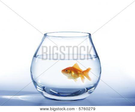 Ouro peixes no aquário