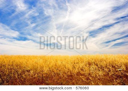 Campo de oro
