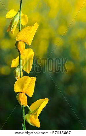 Bean Flowers
