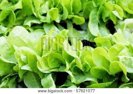 Fresh Raw Salad