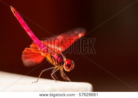Red Dragonfly sits on a stone on Brown background