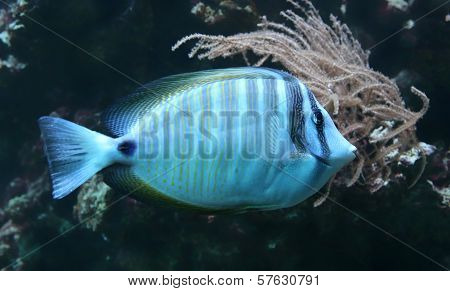 Close-up view of a Sailfin tang