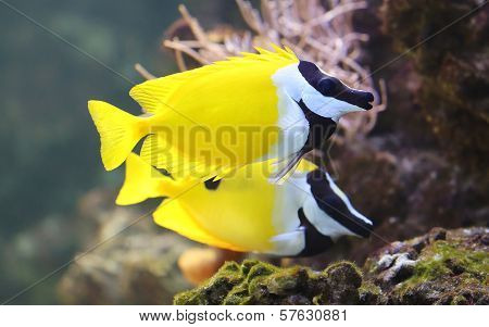 Close-up view of a Foxface rabbitfish