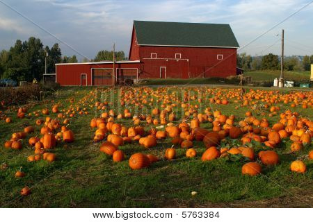 Pumkins in the field.