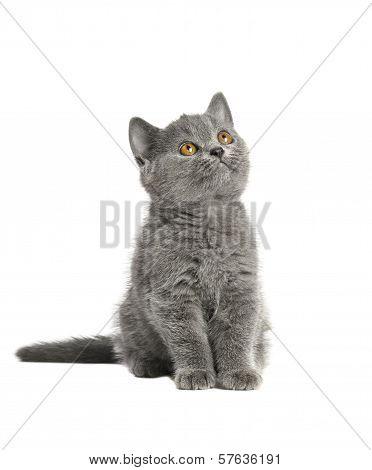 British Blue Shorthair Kitten