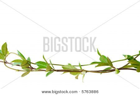 Green Leaves On Tangled Stems