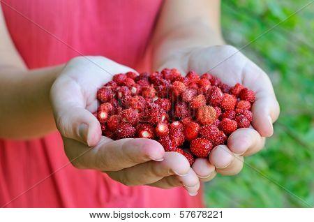 Fresh forest strawberries, hands full