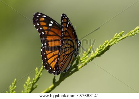 Monarch Butterfly - Danaus plexippus 2