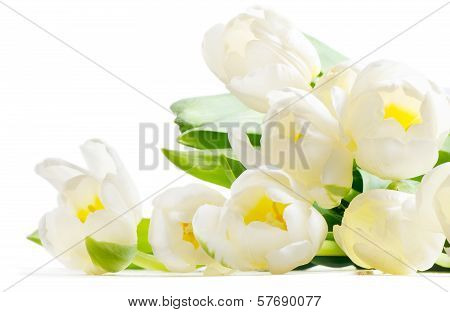 Fresh Tulips Isolated On White Background