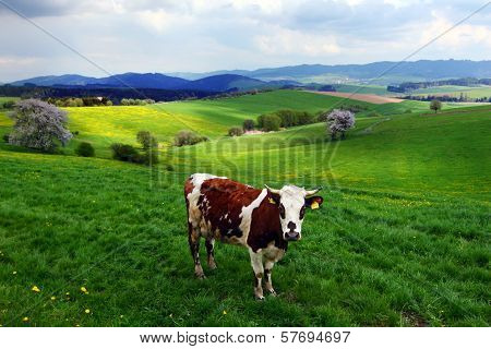Cow On The Spring Pasture