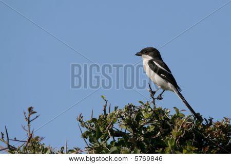 Fiscal Shrike Bird