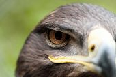 stock photo of steppes  - The Steppe Eagle is a bird of prey