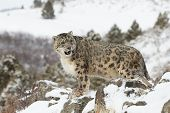 picture of snow-leopard  - Rare and Elusive adult male Snow Leopard in winter snow scene - JPG