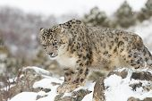 foto of snow-leopard  - Adult male rare and elusive Snow Leopard in winter snow scene - JPG