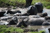 image of wallow  - Water buffalo wallow in a pool of mud at a buffalo reserve in Hungary - JPG