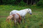 stock photo of nano  - Two Ponies grazing - Nanos mountain Slovenia