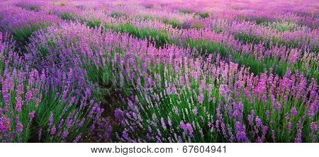 Lavender texture. Composition of nature.