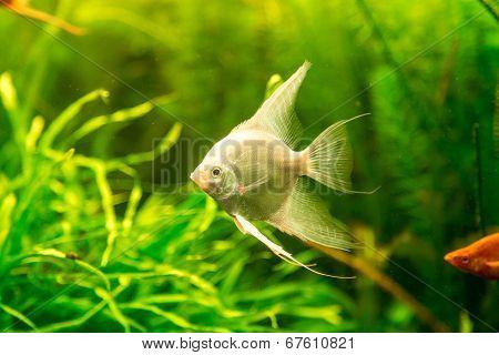 Tropical Fish Pterophyllum Scalare