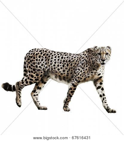 Watercolor Digital Painting Of  Walking Cheetah Isolated On White Background