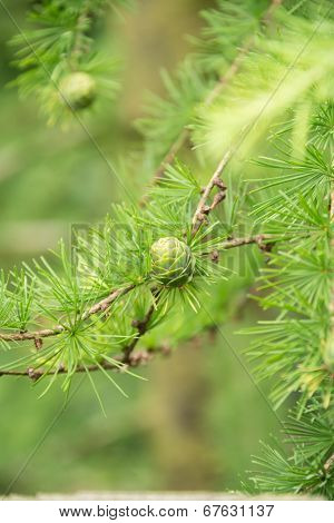 Green Pine Cones Of A Larch Tree