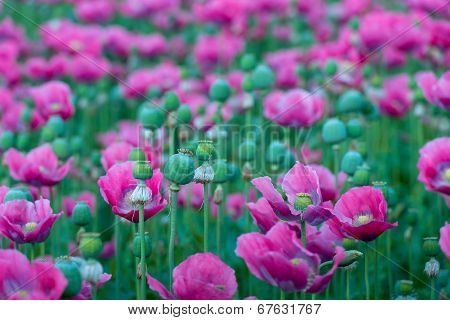 Seed Capsules And Pink Papaver Flowers