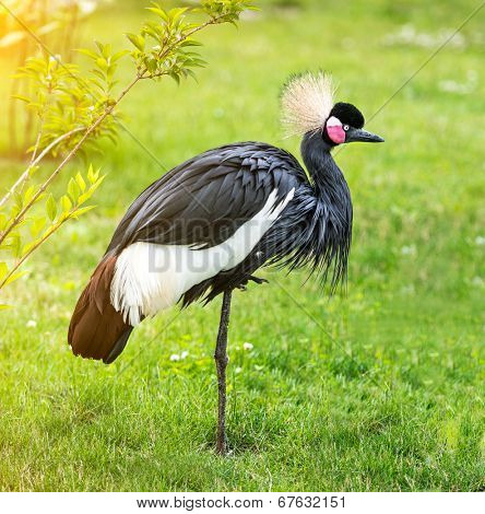 Grey crowned Crane on a green grass