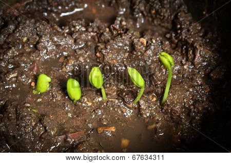 Step Of Growing Tamarind Sprout.