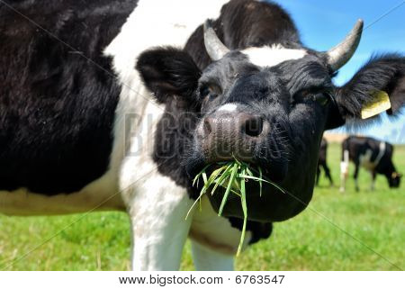 Cow Chewing Grass