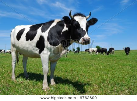 Young Horned Cow On The Grassland