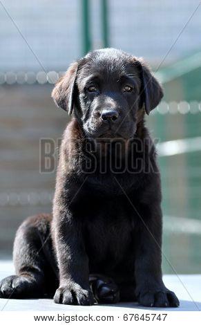Portrait Of Labrador Puppy