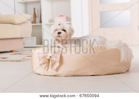 Cute young Maltese laying down on his bed at home